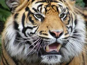 tigerslide
