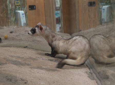 Black-footed Ferret - Carmela