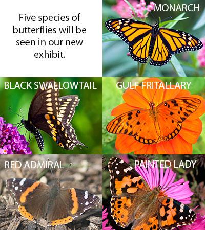 Butterfly-species