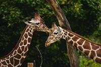 giraffe-Doll-web