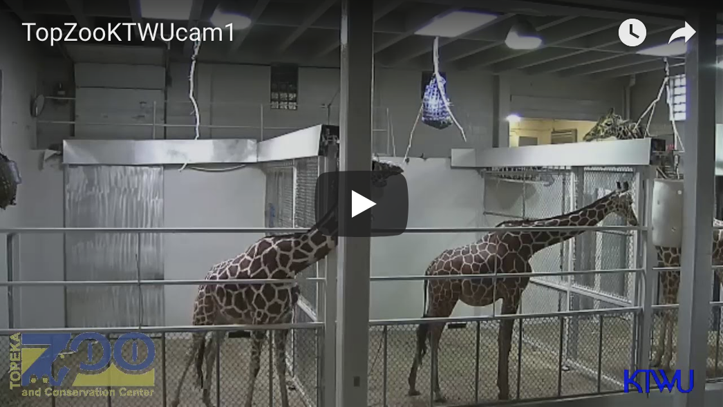 Giraffe Cam - Topeka Zoo & Conservation Center