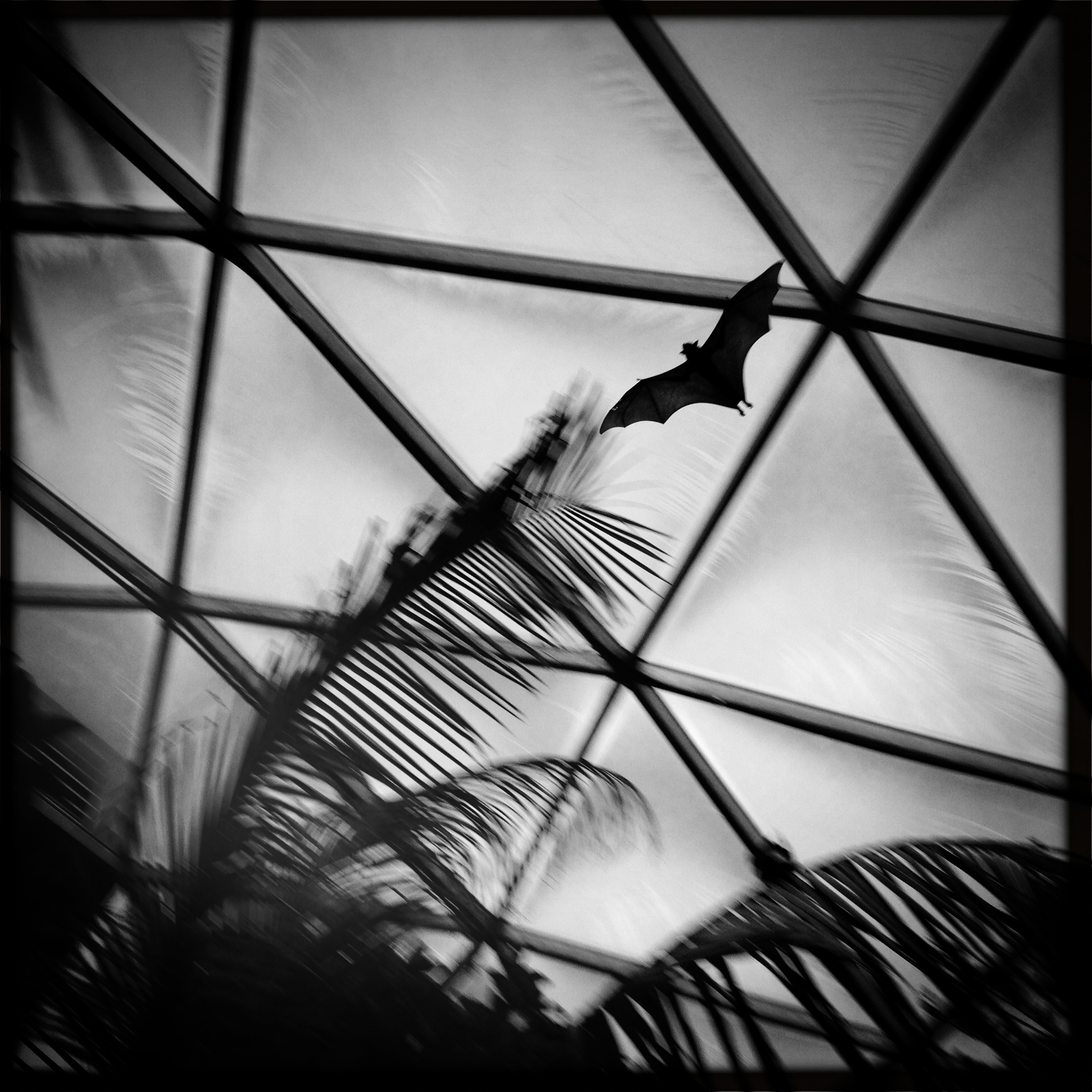 Giant Indian Fruit Bat flying in the Tropical Rainforest.