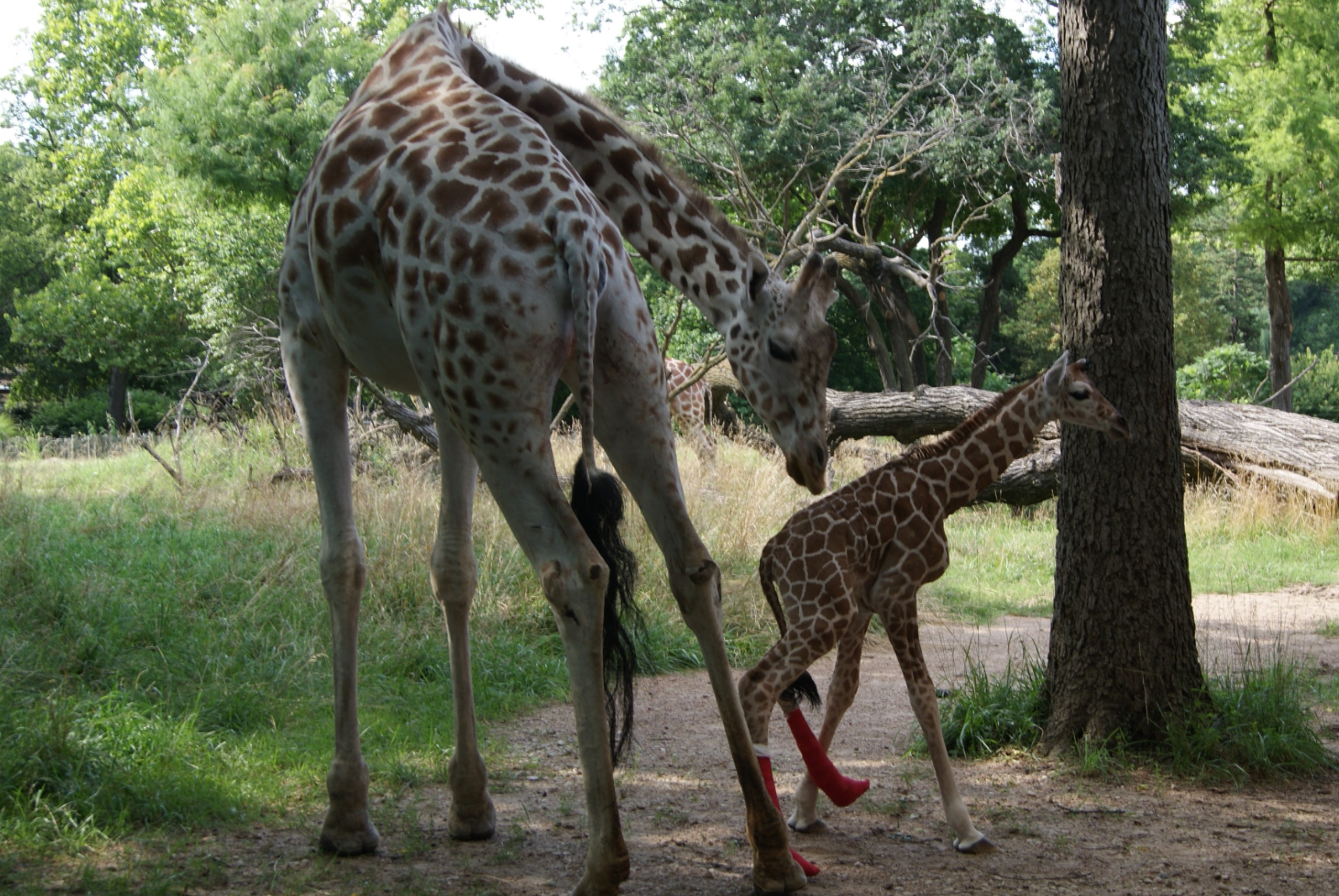 Hope the Reticulated Giraffe was born with hyperextended fetlocks which required special casts and physical therapy in order to thrive.