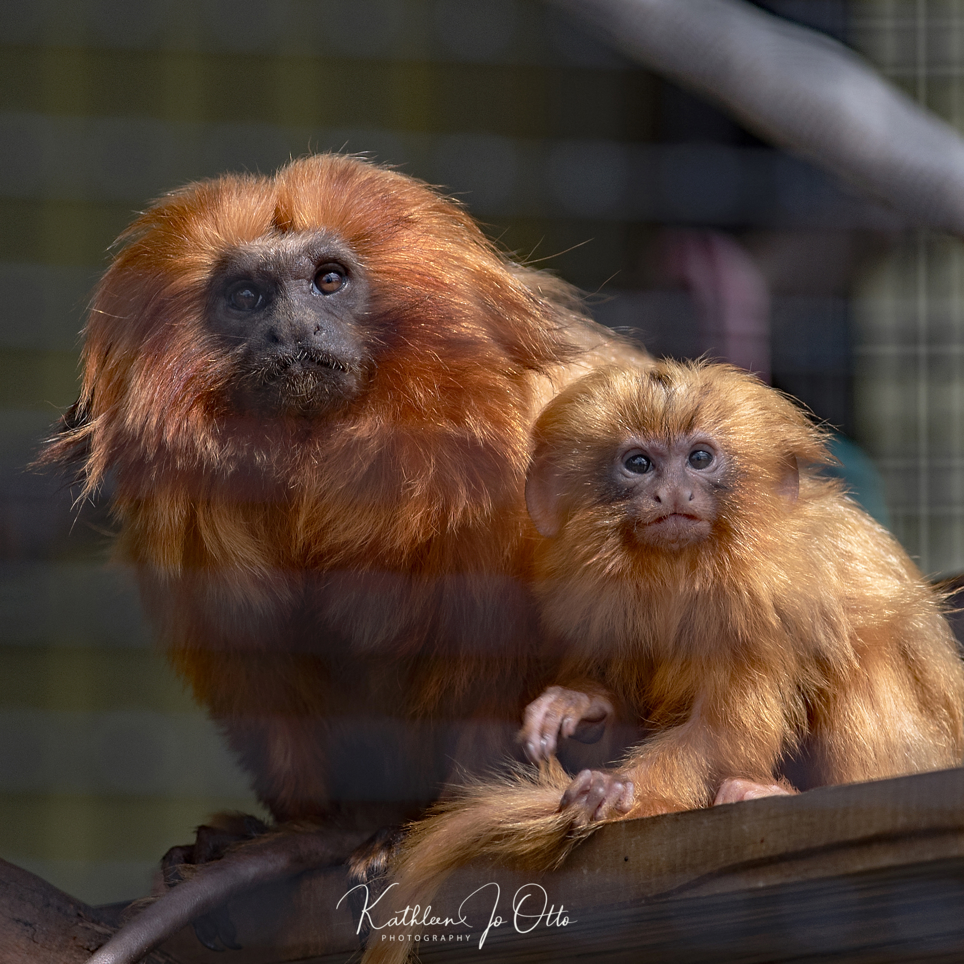 Two Golden Lion Tamarins at Topeka Zoo