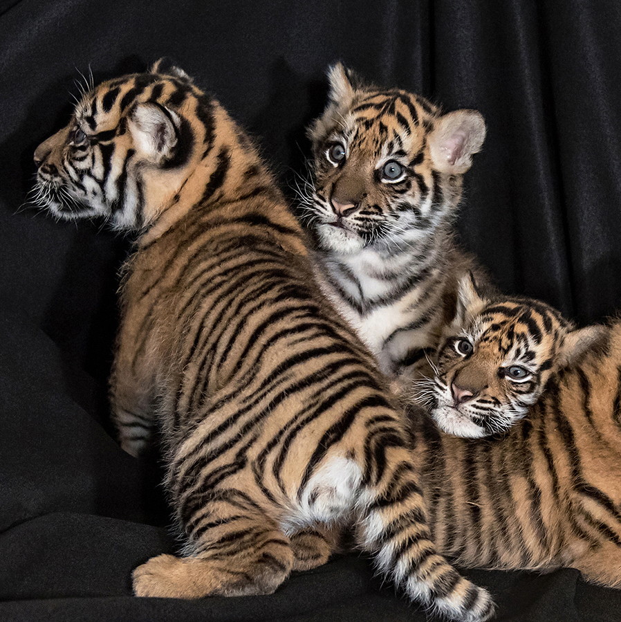 tiger-web2
