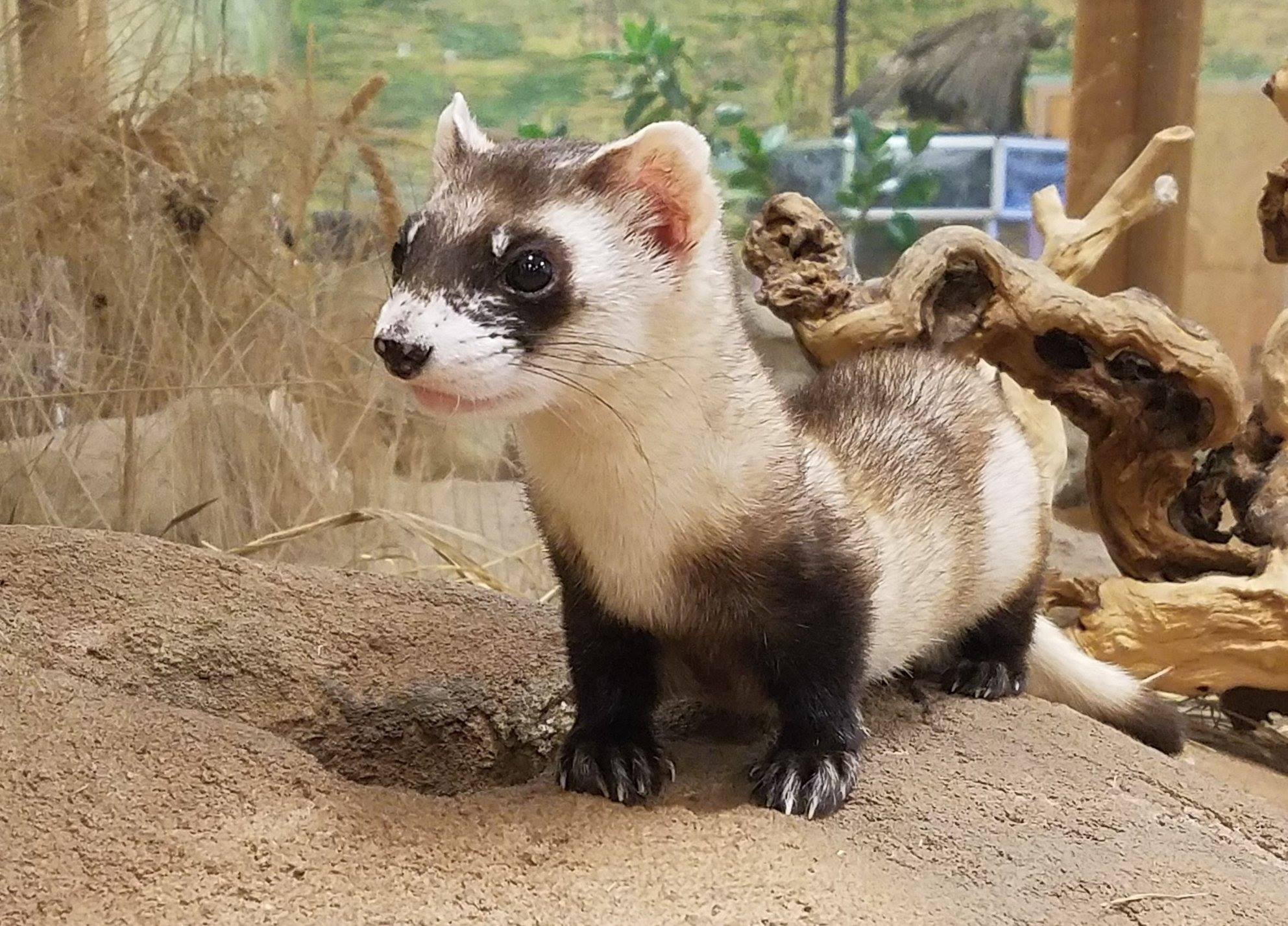 black footed ferret at Topeka Zoo