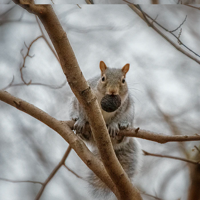 squirrel on tree branch with nut in mouth at Topeka Zoo