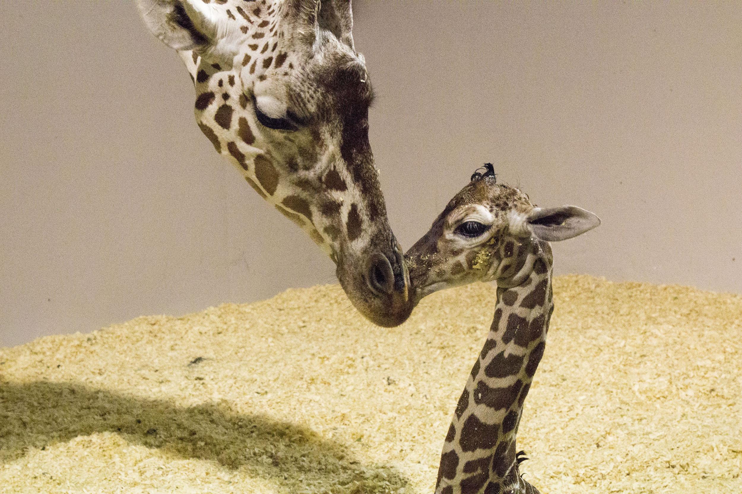 mom and newborn baby giraffe at Topeka Zoo