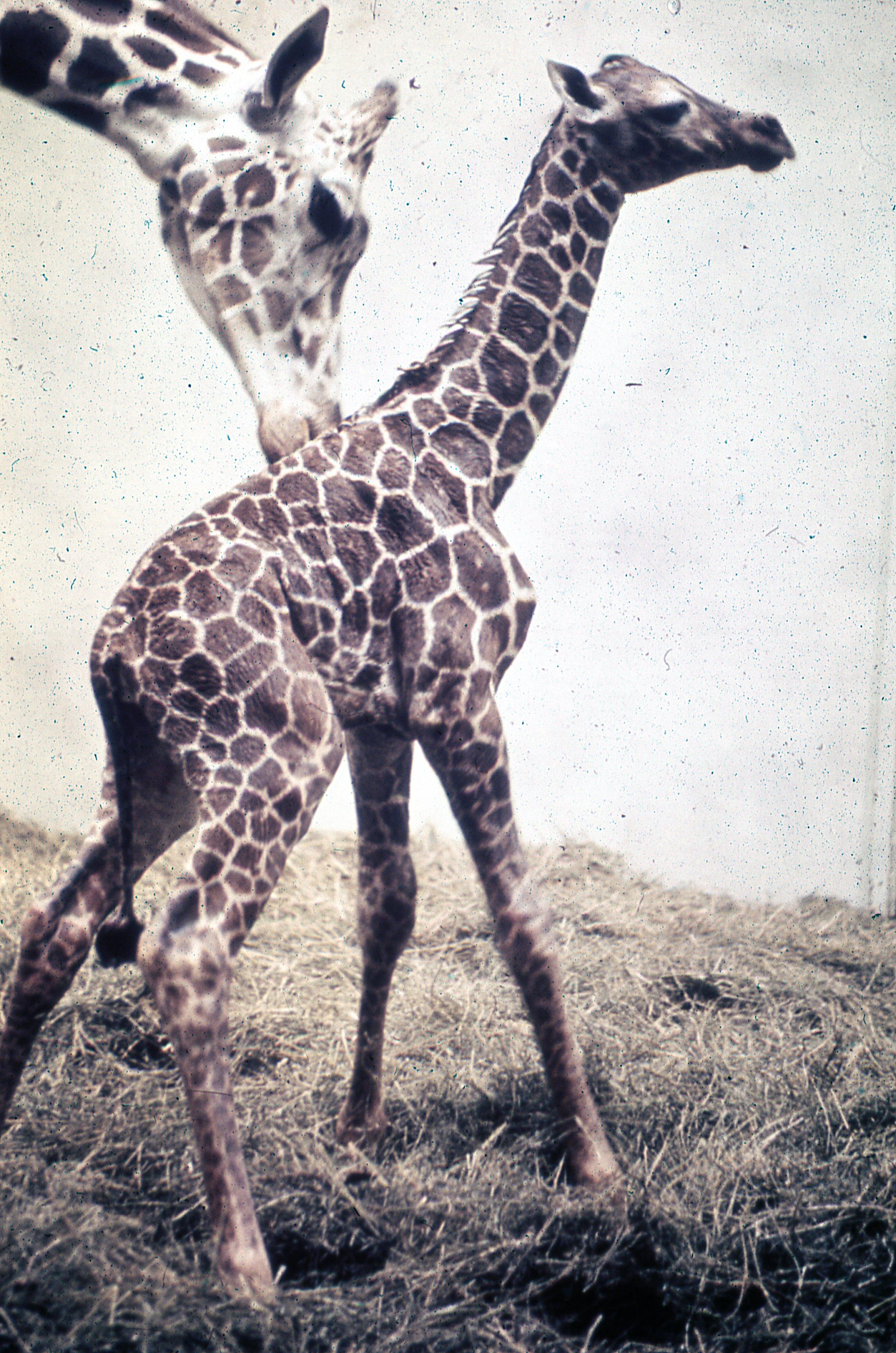 big giraffe grooming baby giraffe at Topeka Zoo