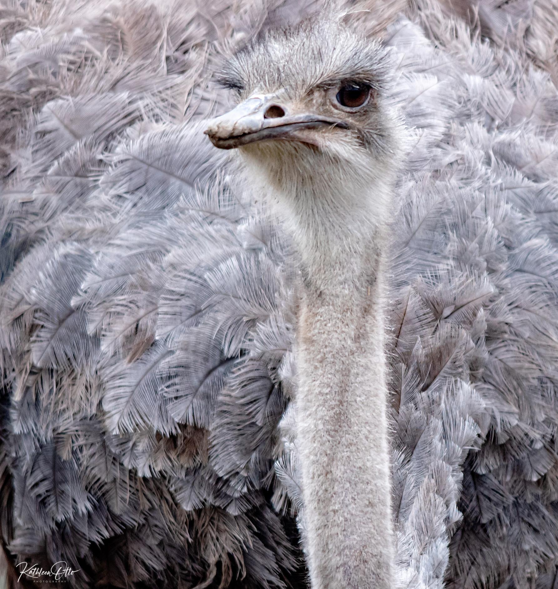Topeka Zoo ostrich