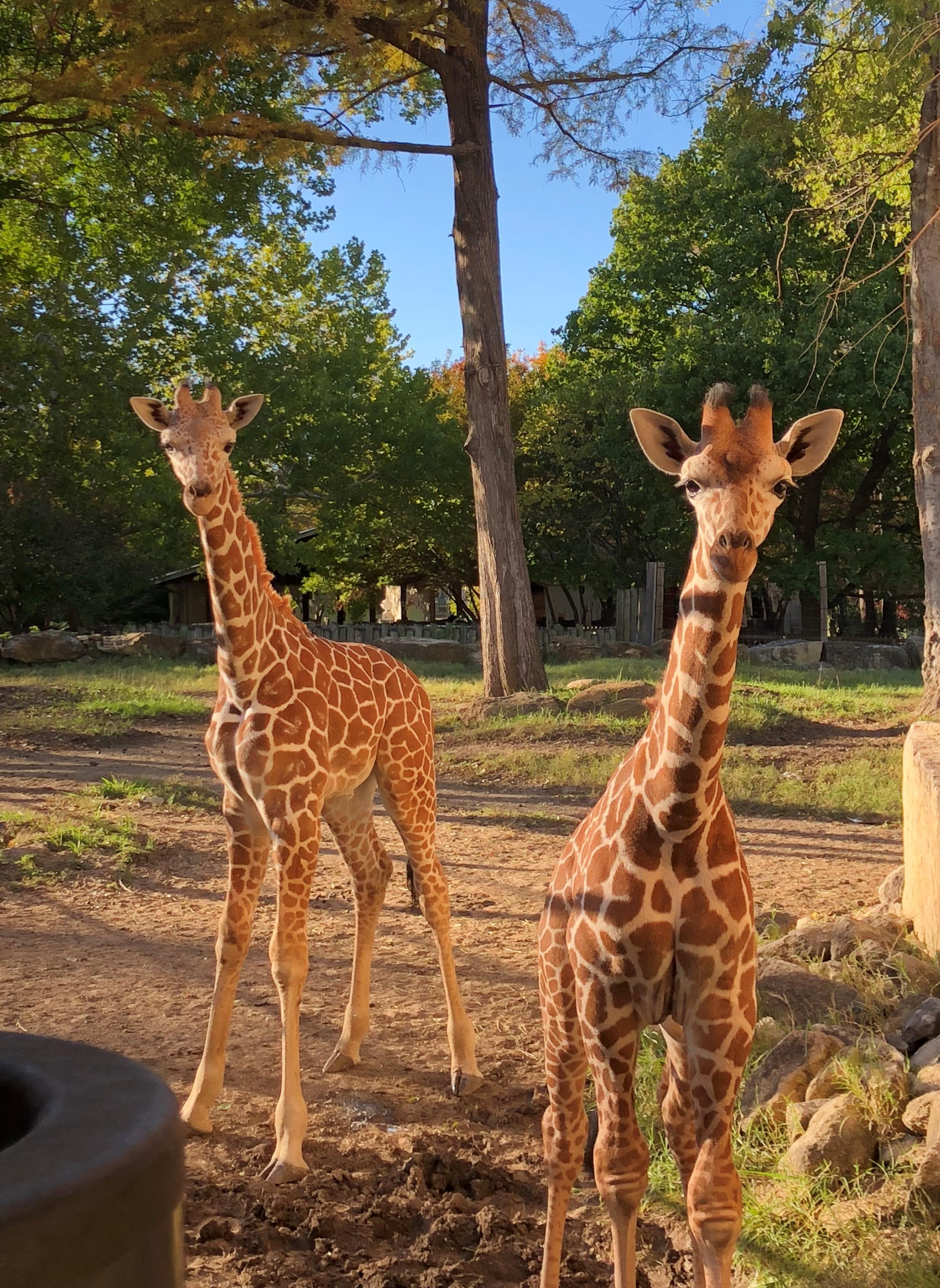 two baby giraffes at Topeka Zoo
