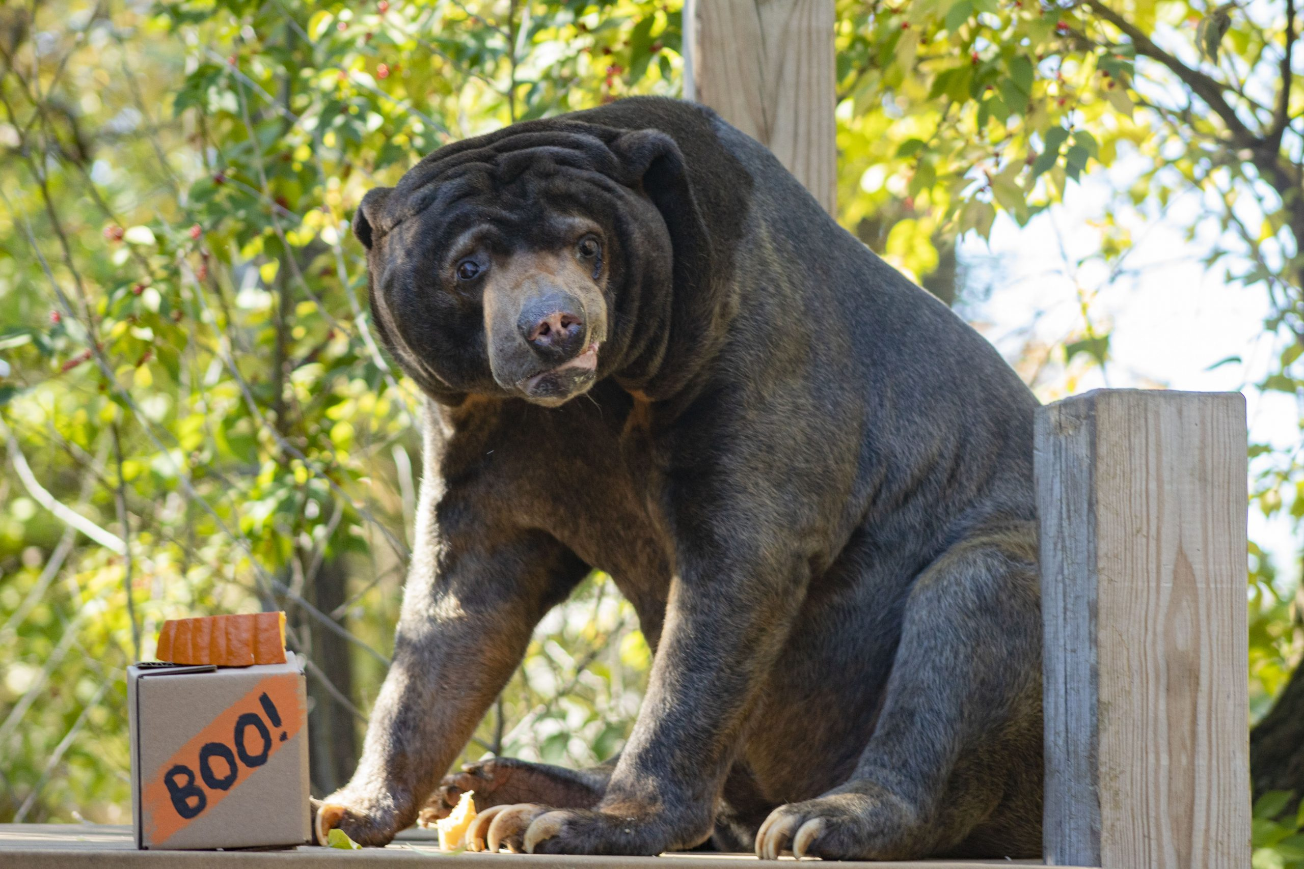 Sun Bear with Halloween Treat