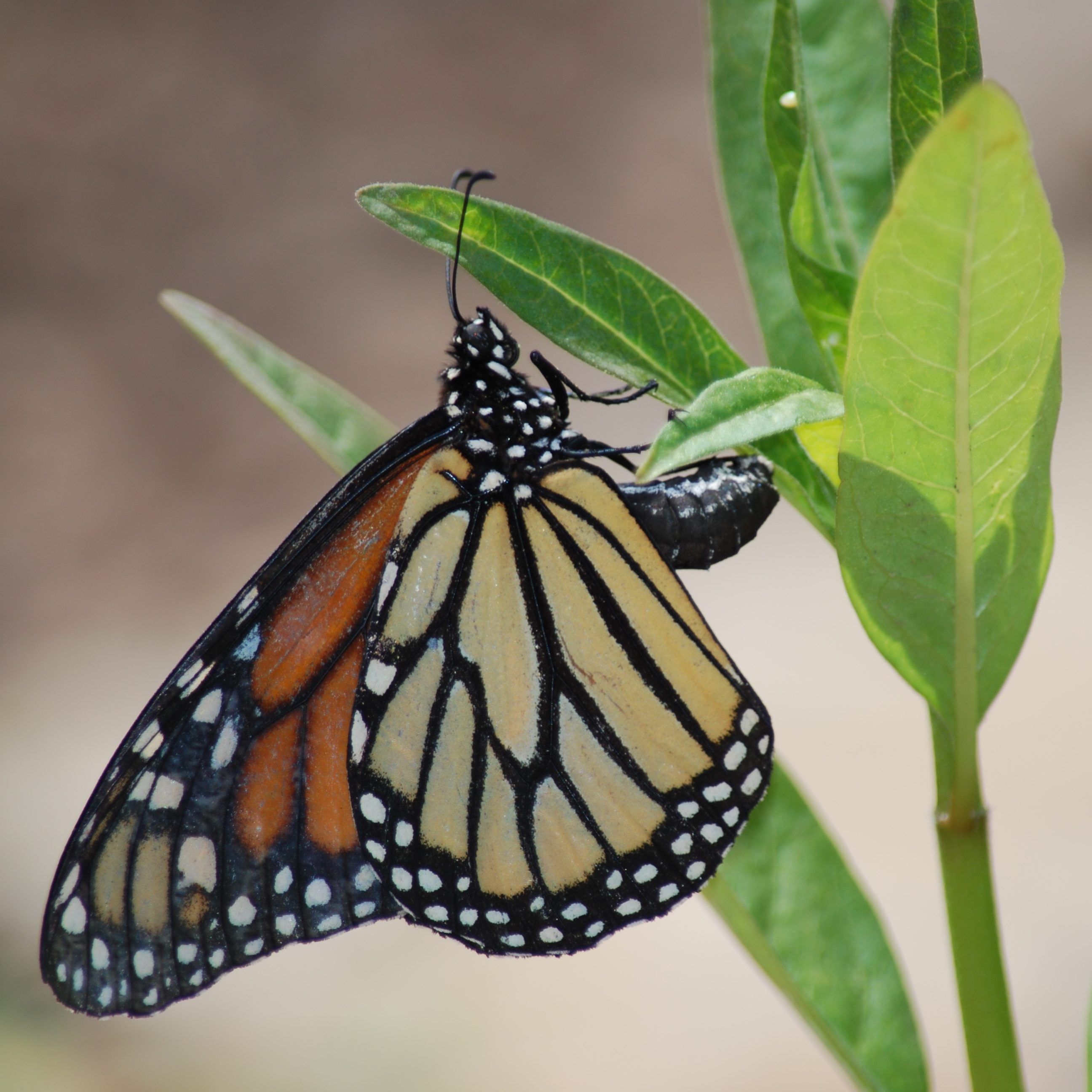 Monarch Butterfly on plant leaf at Topeka Zoo