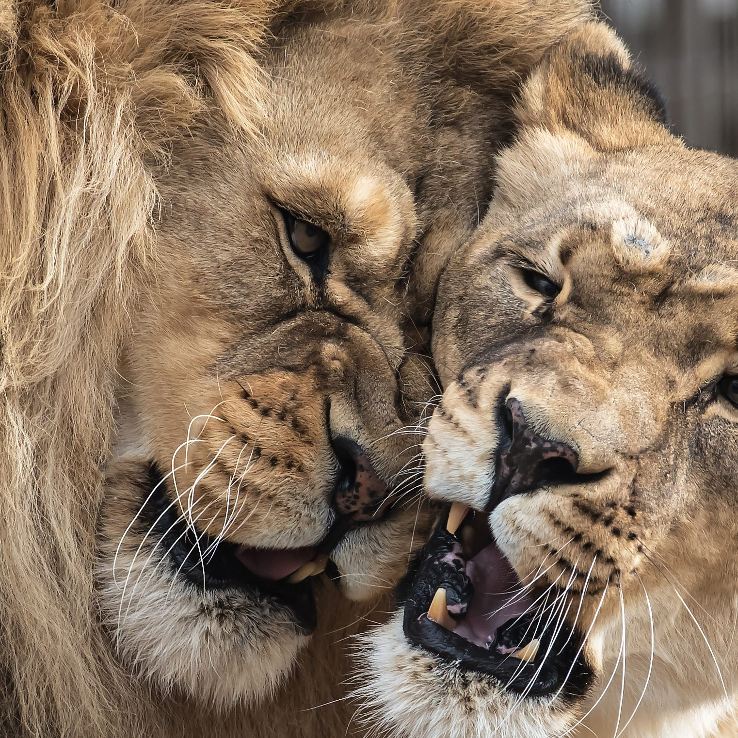 PHOTO #3 LION LOVE CATEGORY ANIMAL GROUP