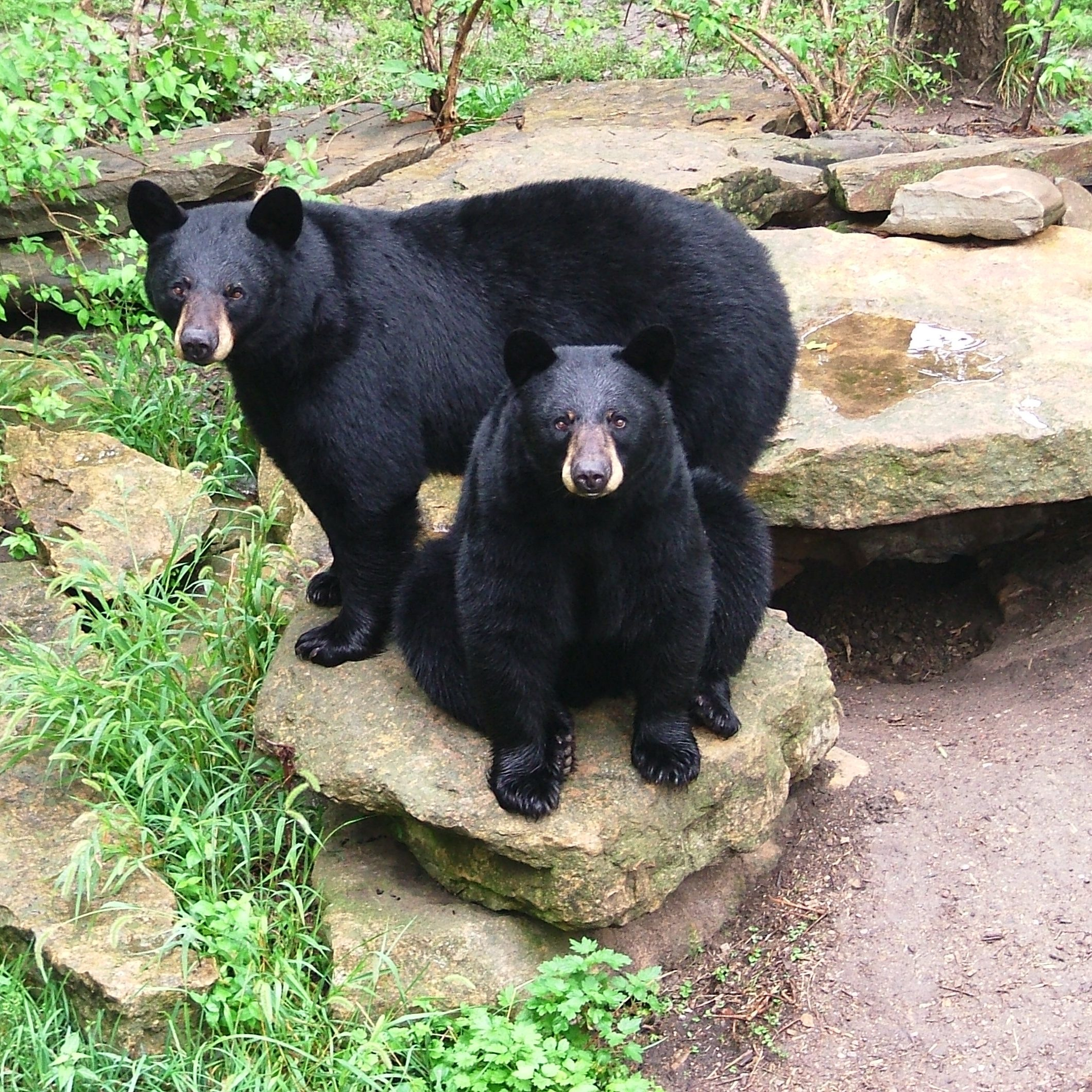 Sneak and Peak, the first bears to reside in Hills Black Bear Woods, which opened in 1996.