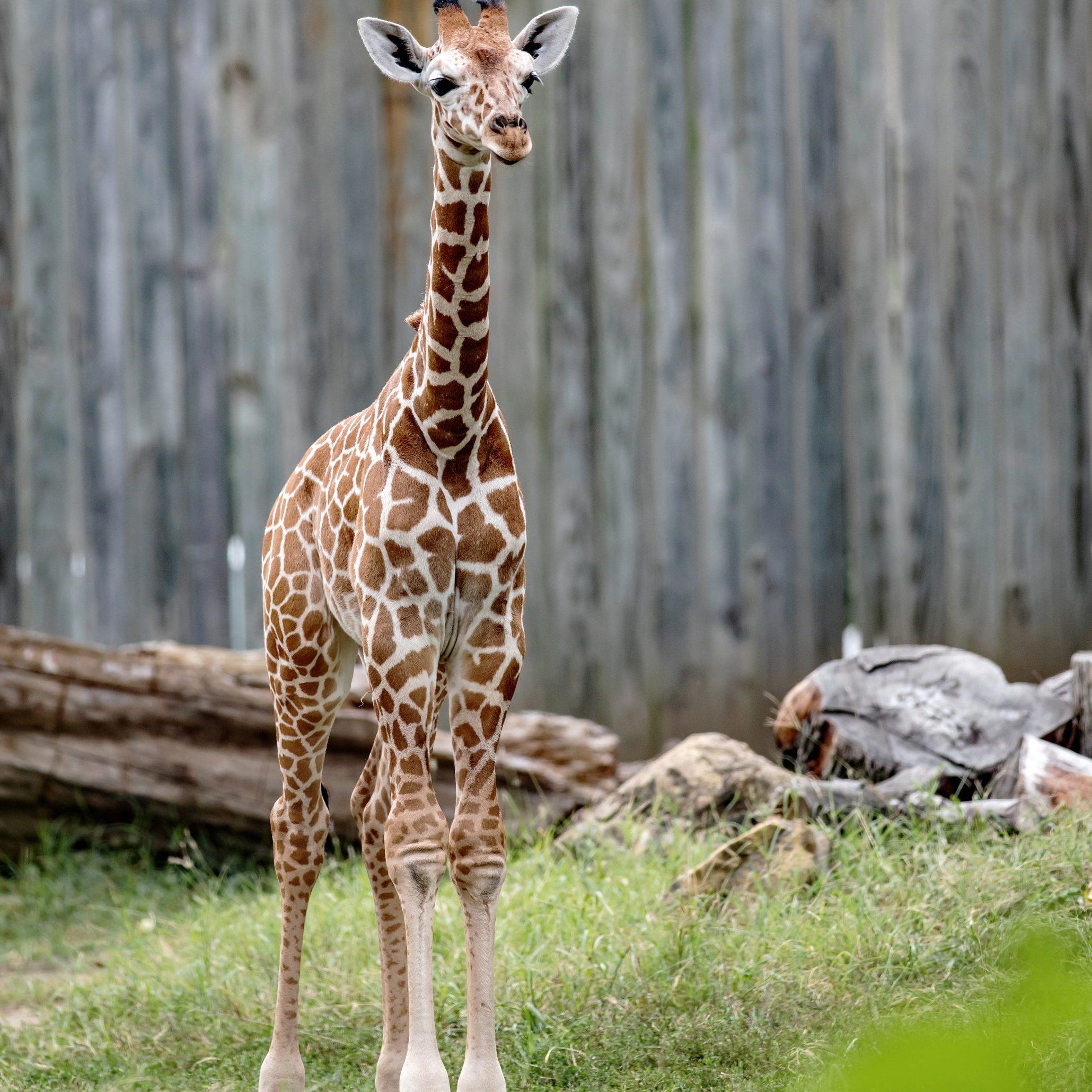 Liz the Giraffe